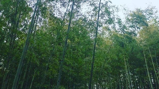 鳥のさえずりが気持ちいい🕊️ #阿波たけのこ農園 #筍姫の里 #竹林