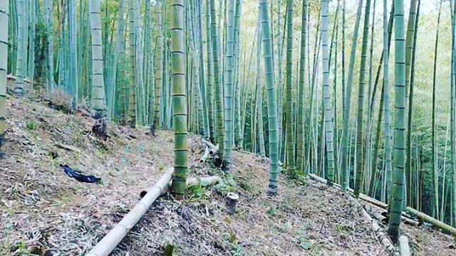 清々しい竹やぶ