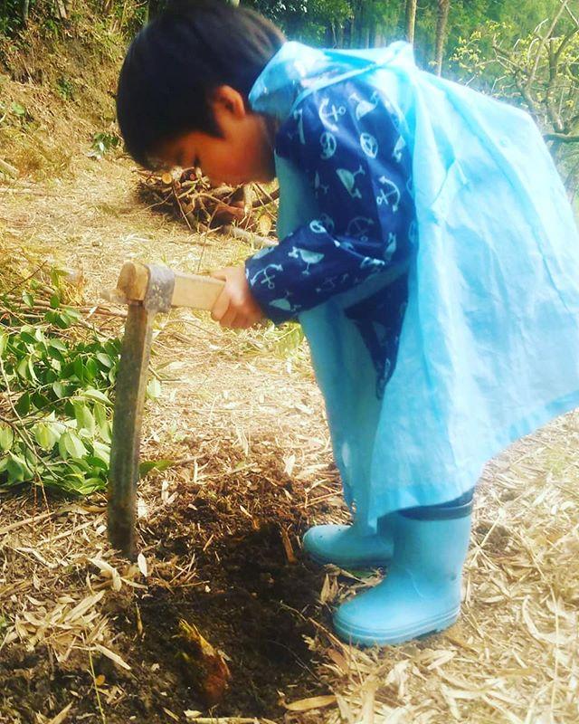 タケノコ掘りのお手伝い慎重にちょっとずつ掘り進めます#阿波たけのこ農園 #筍姫の里 #筍姫 #竹やぶ #タケノコ #bambooshoots #japan