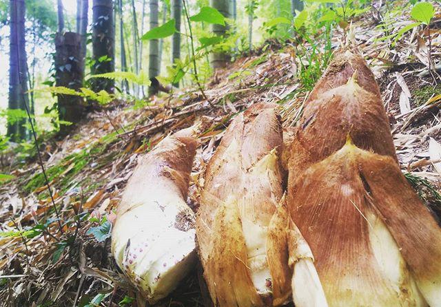 まだまだ筍姫(白タケノコ)掘れてます#筍姫 #阿波たけのこ農園 #タケノコ #竹やぶ #竹林 #朝彫り掘り #産地直送 #tokushima #anan #bambooshoots