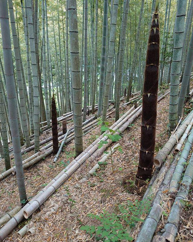 竹やぶ整備古い竹を伐採したあとは、若い親竹となるタケノコを残して育てます日に日に伸びてる!このスピードにはいつも驚きます️ #筍姫 #阿波たけのこ農園 #親竹 #タケノコ #竹 #竹林 #竹やぶ #筍姫の里  #里山 #tokushima #農村 #農家