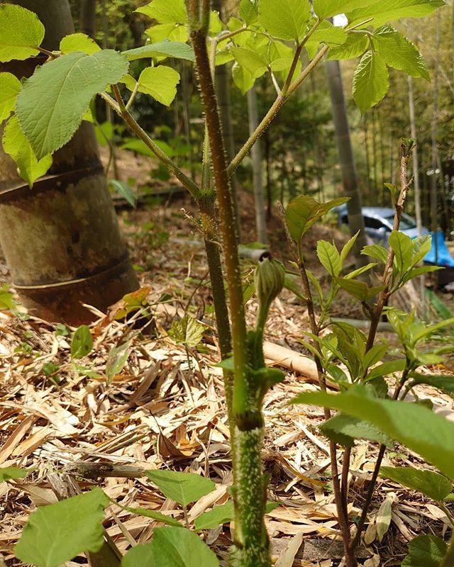 竹やぶにてウド発見!#阿波たけのこ農園 #ウド #うど #山菜 #タケノコ #竹林 #里山