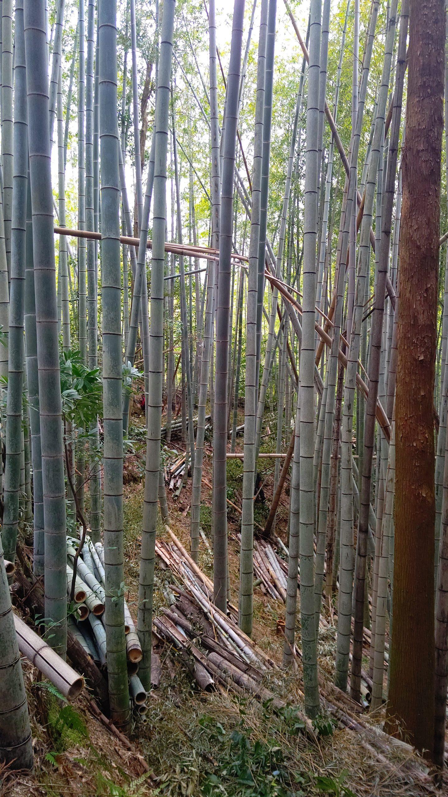竹やぶ整備