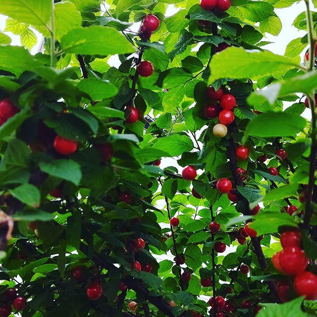 ユスラウメの収穫季節は春から夏へ️甘酸っぱいユスラウメも収穫どきを迎えています。鳥たちにやられる前にいそげ~#ユスラウメ #阿波たけのこ農園 #果樹 #赤いみ #収穫 #体験