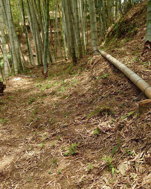 草刈りしてきれいな竹やぶ