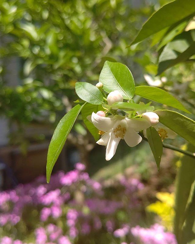 徳島名産のスダチの花が咲き始めました️ たしか徳島県の花なんですよねしたの方にもなんかきれいな花が咲いています雑草やけどきれいやな~#阿波たけのこ農園 #徳島 #スダチ #すだち #花 #flowers