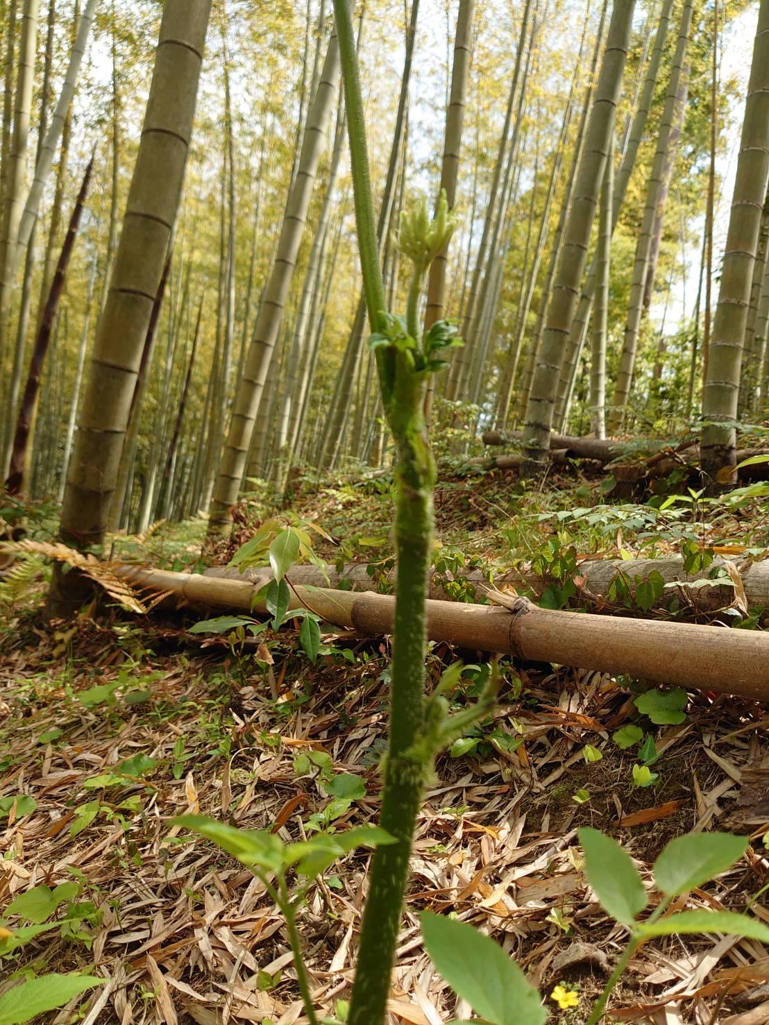竹やぶで春の山菜 「山うど」(^^)