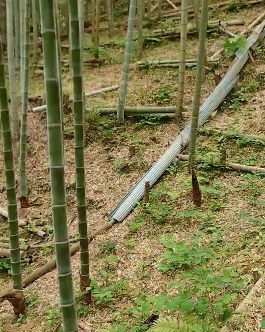 若竹グングン成長中#筍姫 #竹 #竹林 #若竹 #阿波たけのこ農園
