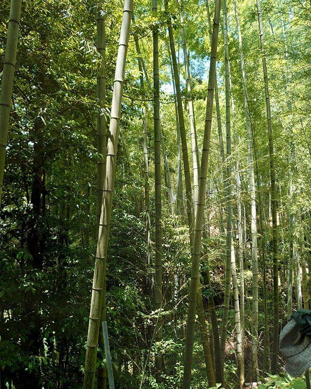 夏を迎え竹が青々としてきました