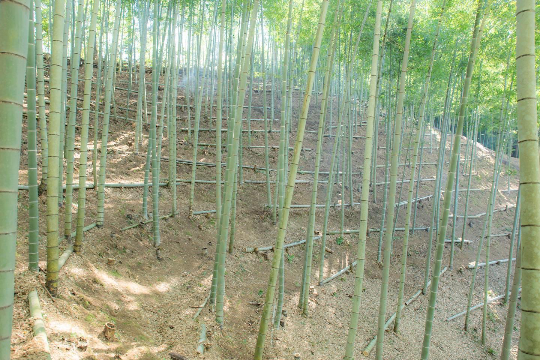 竹やぶいい感じ#たけのこ#筍姫#阿波たけのこ農園#竹林#農業#林業#徳島#体験