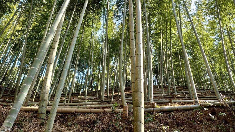 陽があたる竹林の様子