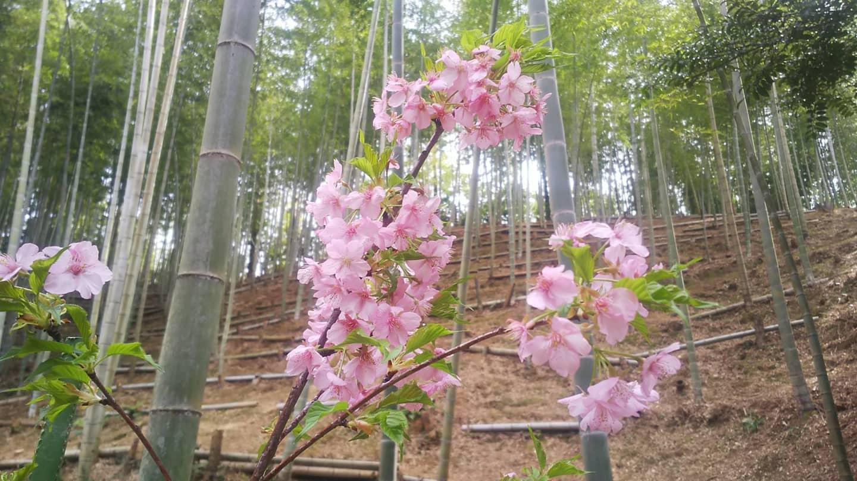 竹×桜河津桜がきれいに咲いています#竹 #bamboo #桜 #sakura #里山 #阿波たけのこ農園 #筍姫