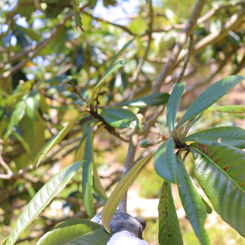 ビワの赤ちゃん早くも実がついてます️梅雨時期に旬を迎えるんでこれからあっという間に大きくなりますね#びわ #琵琶 #ビワ #果物 #果樹 #竹やぶ #竹林 #阿波たけのこ農園