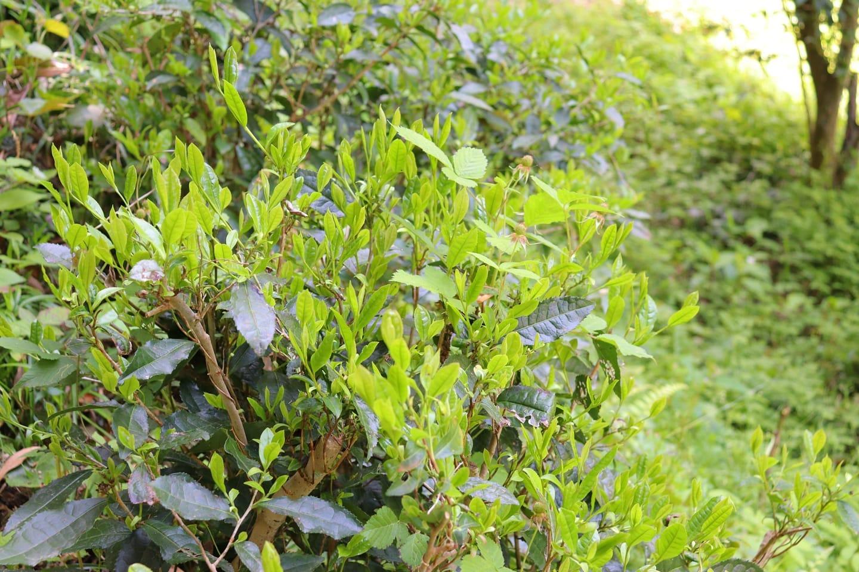 新緑の季節竹やぶなのにお茶も芽吹いてます️誰かが植えたであろうお茶徳島っていろんなお茶の製法あるし、どうしてやろうかな#お茶 #茶葉 #竹やぶ #里山 #阿波たけのこ農園