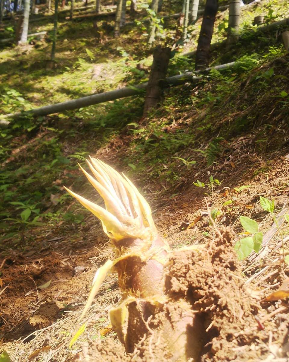 この季節にしては上物です️#たけのこ #タケノコ #竹林 #竹やぶ #里山 #阿波たけのこ農園 #筍姫