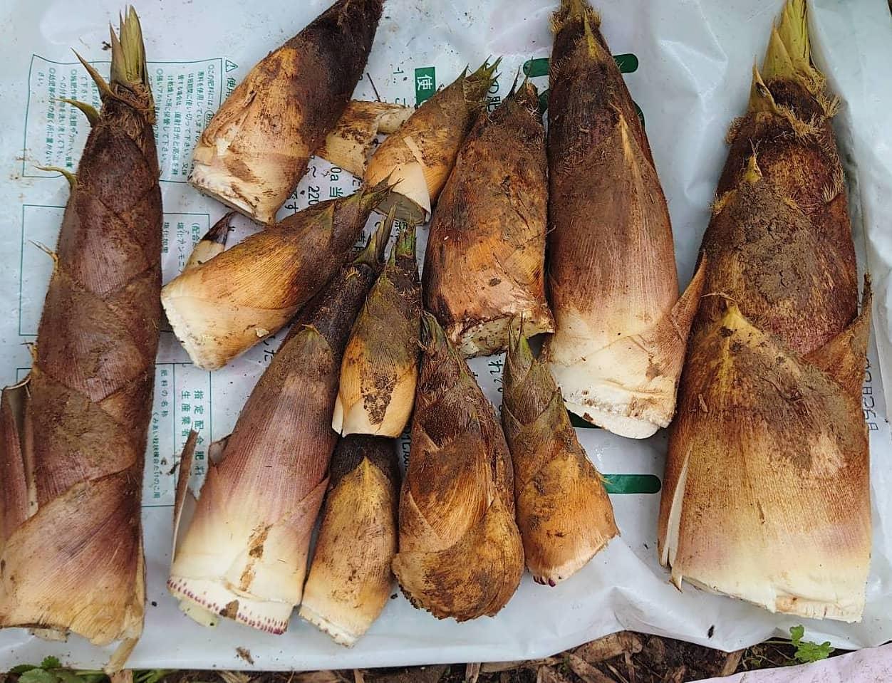 そろそろラストですね自家消費、ガブガブ食べます#たけのこ #タケノコ #自家消費 #たけのこ消費 #竹林 #里山 #阿波たけのこ農園 #筍姫 #徳島 #阿南