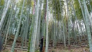 【竹林整備】竹の先止め(ウラドメ・末止め)の様子